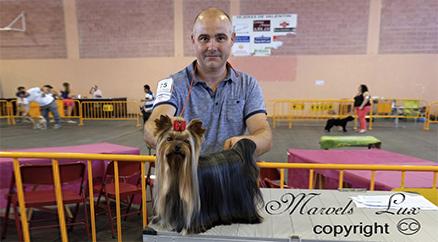 Yorkshire Terrier Ch Marsonia de la Seda se presta a cualquier manejador aqui con Alfonso